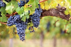 bunches of grapes in a vineyard